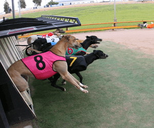 Canberra Greyhounds Celebrate Winners All Around