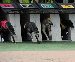 Dyna Tron Wins AGRA 2011 Australian Greyhound Of The Year Award