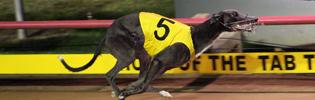 Controversial 2008 Victorian Greyhound Of The Year El Galo