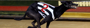 Queen Lauryn Asserting Herself As Australias Best Greyhound Racing Bitch In Last Nights Sapphire Crown Final