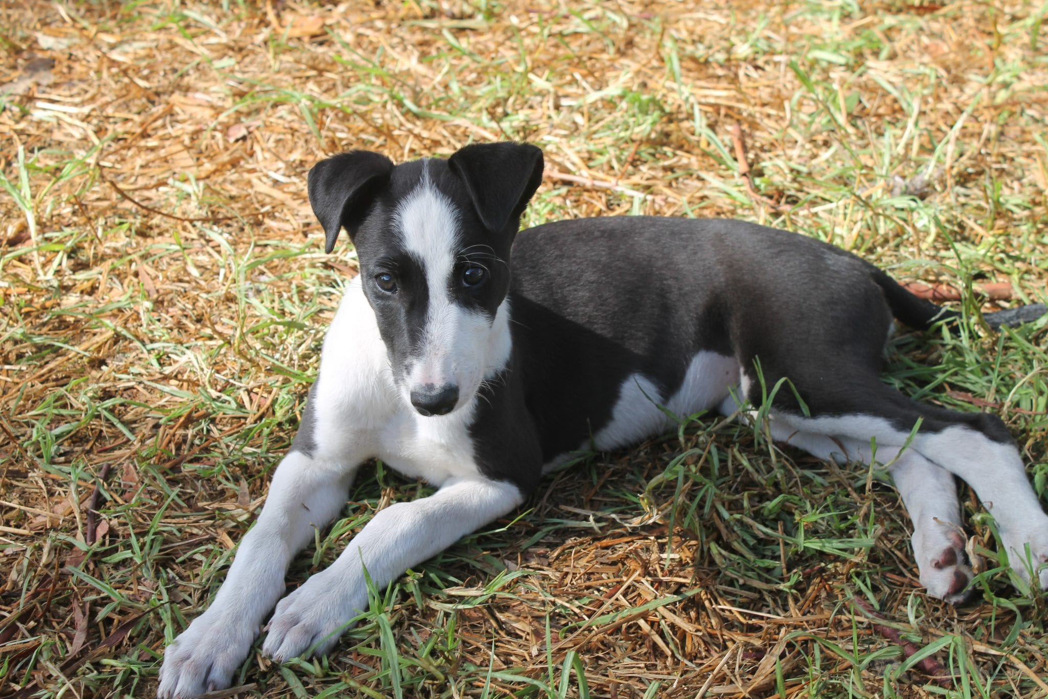 australian racing greyhound