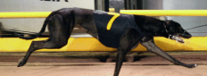 Greyhound racing at the meadows