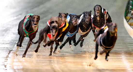 australian greyhound racing