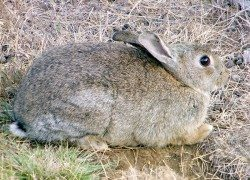 European rabbits found on NSW property