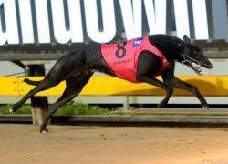 Greyhound Dyna Vila