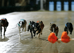 Greyhounds Australia